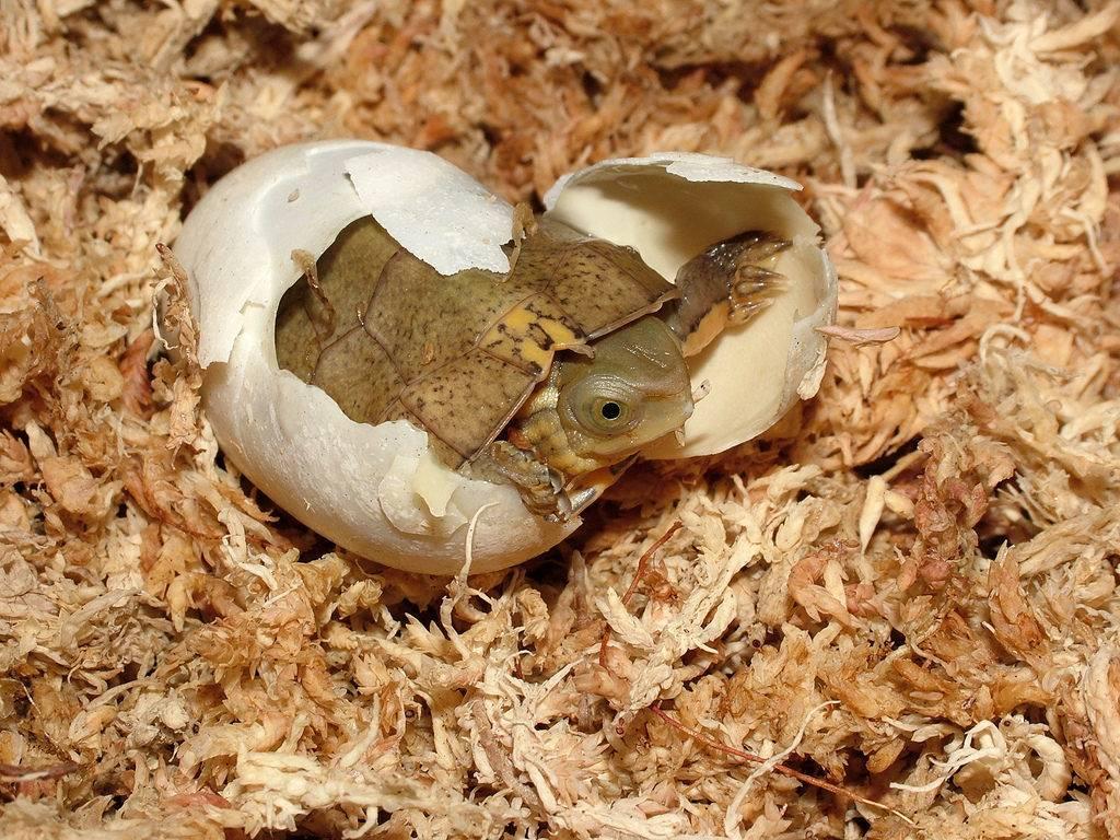 Красноухая черепаха: содержание,разведение,описание,кормление,фото,видео,уход