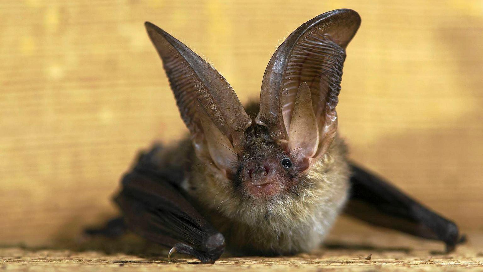 Бурый ушан: описание, фото, полет, охота