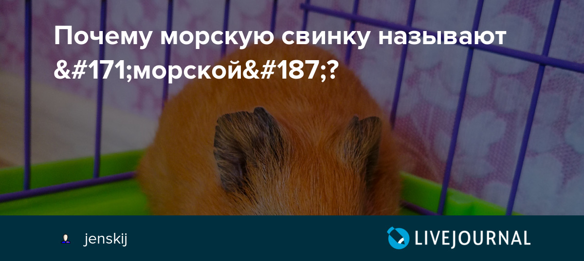 Почему морскую свинку так назвали?