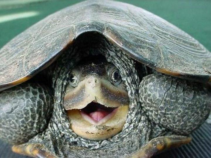 Мускусные черепахи (sternotherus odoratus) дышат под водой через язык