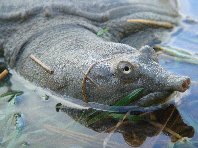 Pelodiscus sinensis (дальневосточная черепаха, китайский трионикс)
