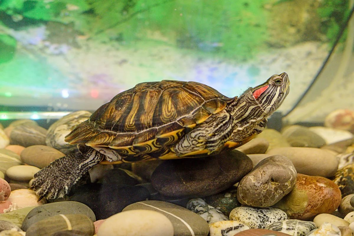 Trachemys scripta (красноухая черепаха)