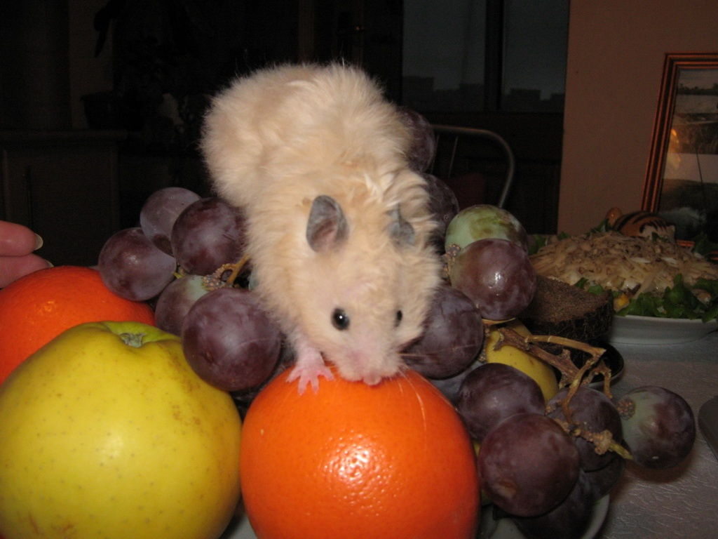 Какой виноград можно давать хомякам?