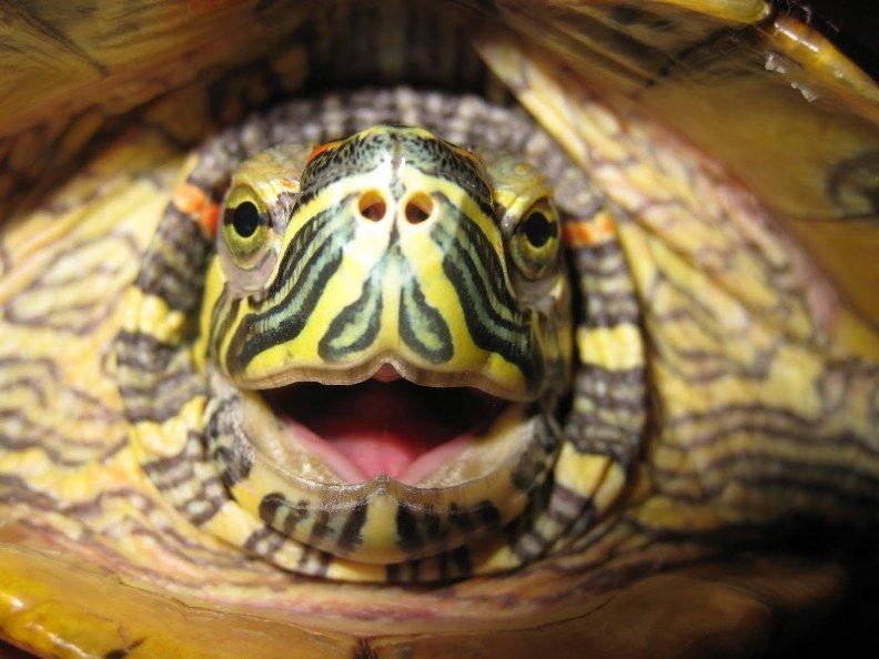 Как открыть рот черепахе?