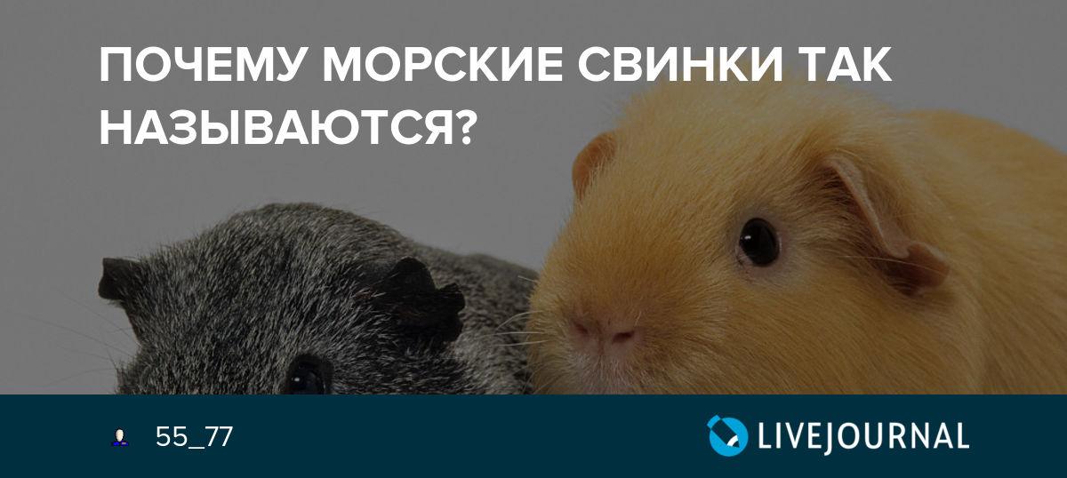 4 версии, почему морская свинка называется морской