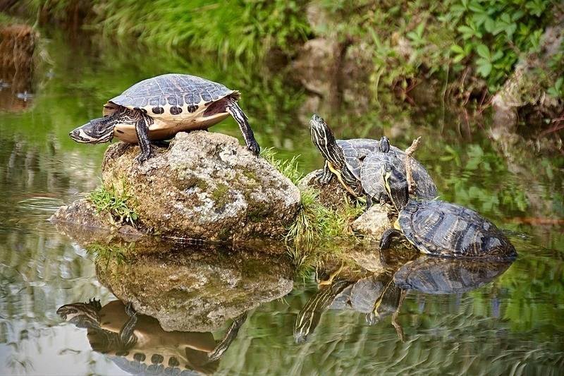 Черепашья спячка в домашних условиях. где и как зимуют болотные черепахи ложатся ли черепахи спать на зиму