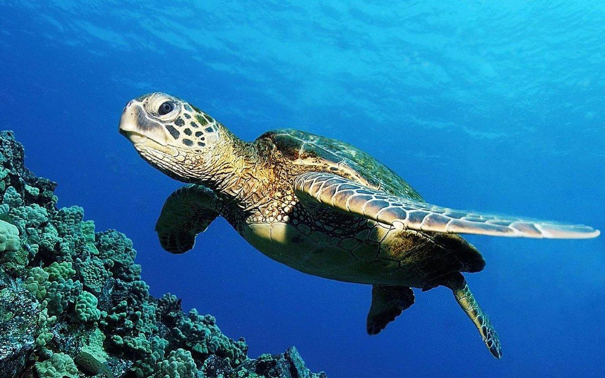 Морские черепахи — википедия с видео // wiki 2