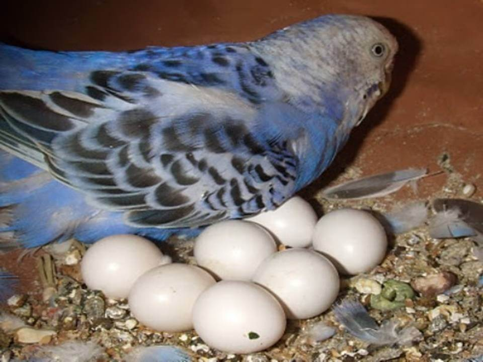 Когда волнистый попугай начинает нести яйца и как это происходит