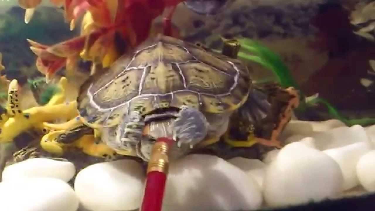 Прирученная бистрая черепаха