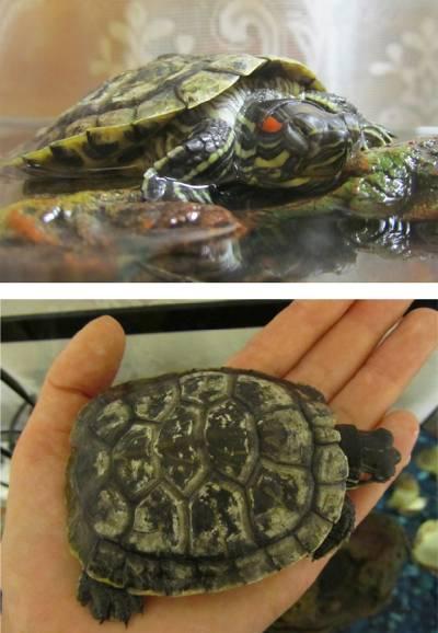 Тимпания или пневмония у красноухой черепахи, вот в чем вопрос
