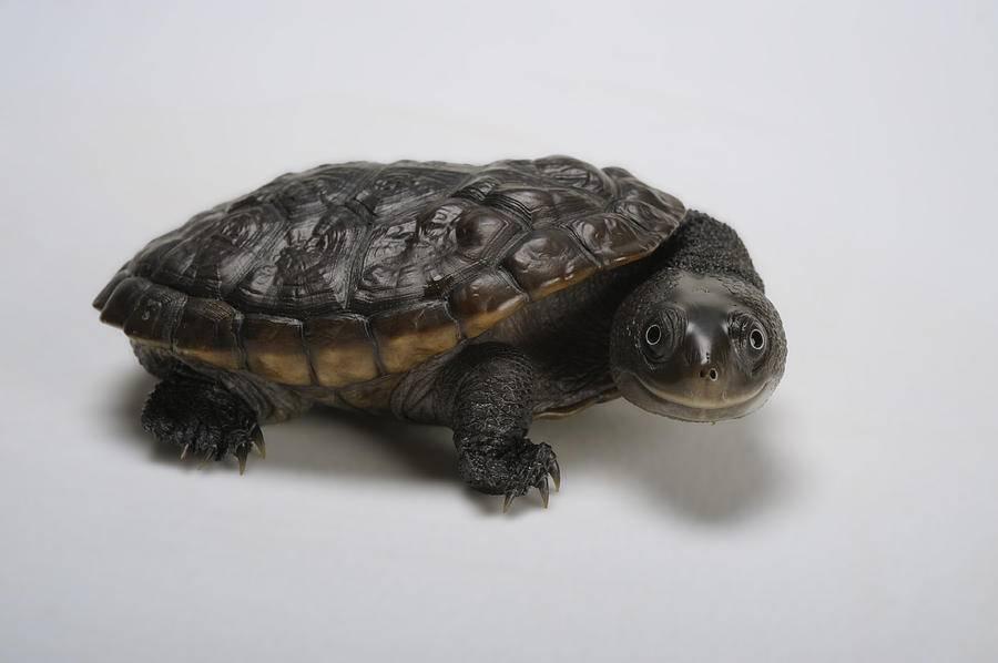Kinosternon scorpioides (скорпионовая замыкающаяся черепаха)