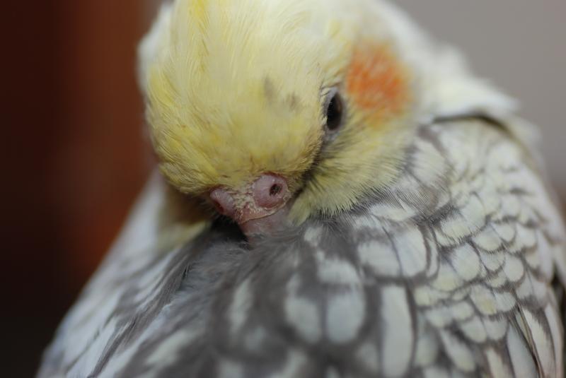 Почему попугай выщипывает перья?