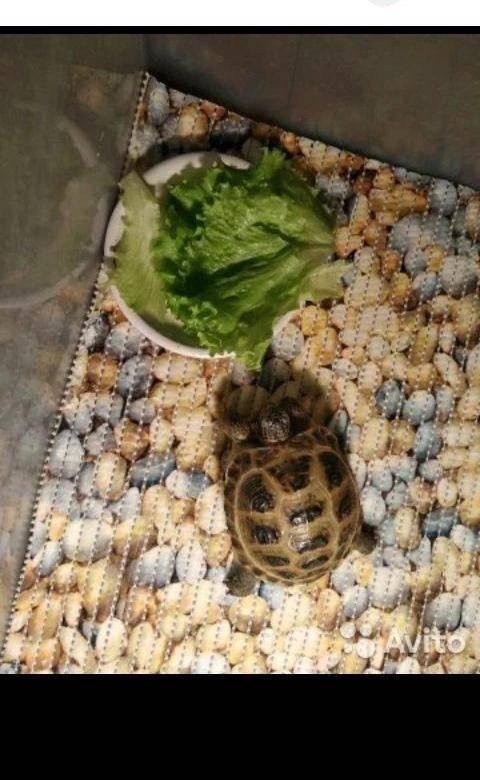 Как перевозить красноухих черепах?