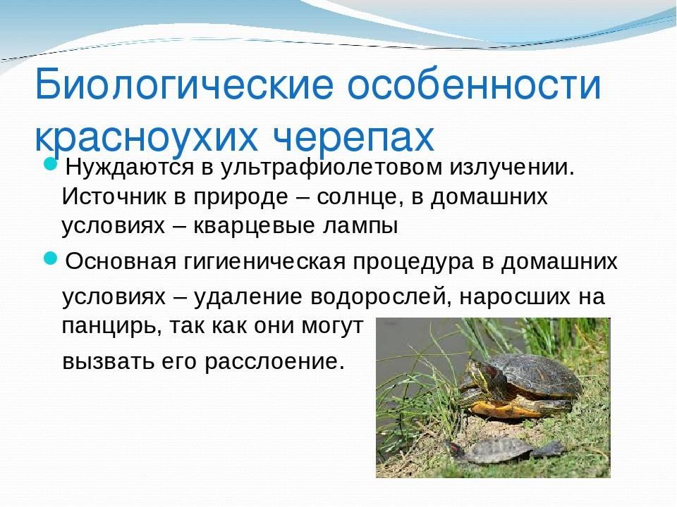 Trachemys scripta (красноухая черепаха) - черепахи.ру - все о черепахах и для черепах