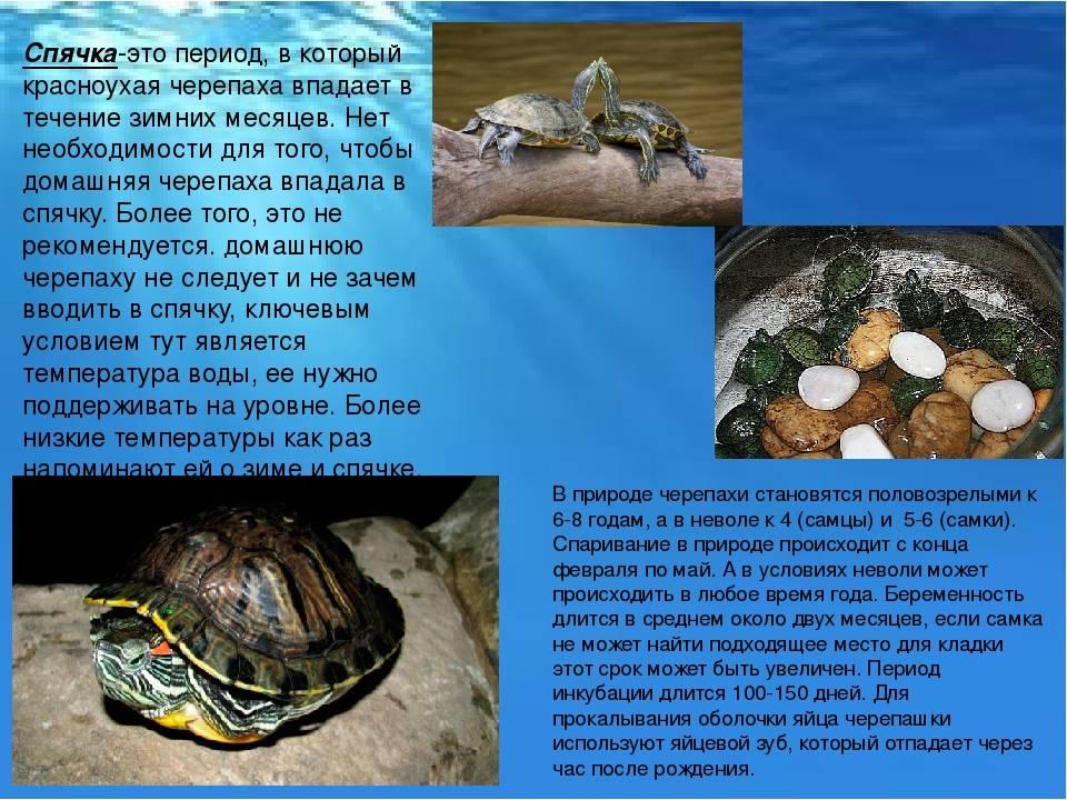 Зимняя спячка красноухих черепашек. зимняя спячка у черепах красноухая черепаха впадает в спячку признаки