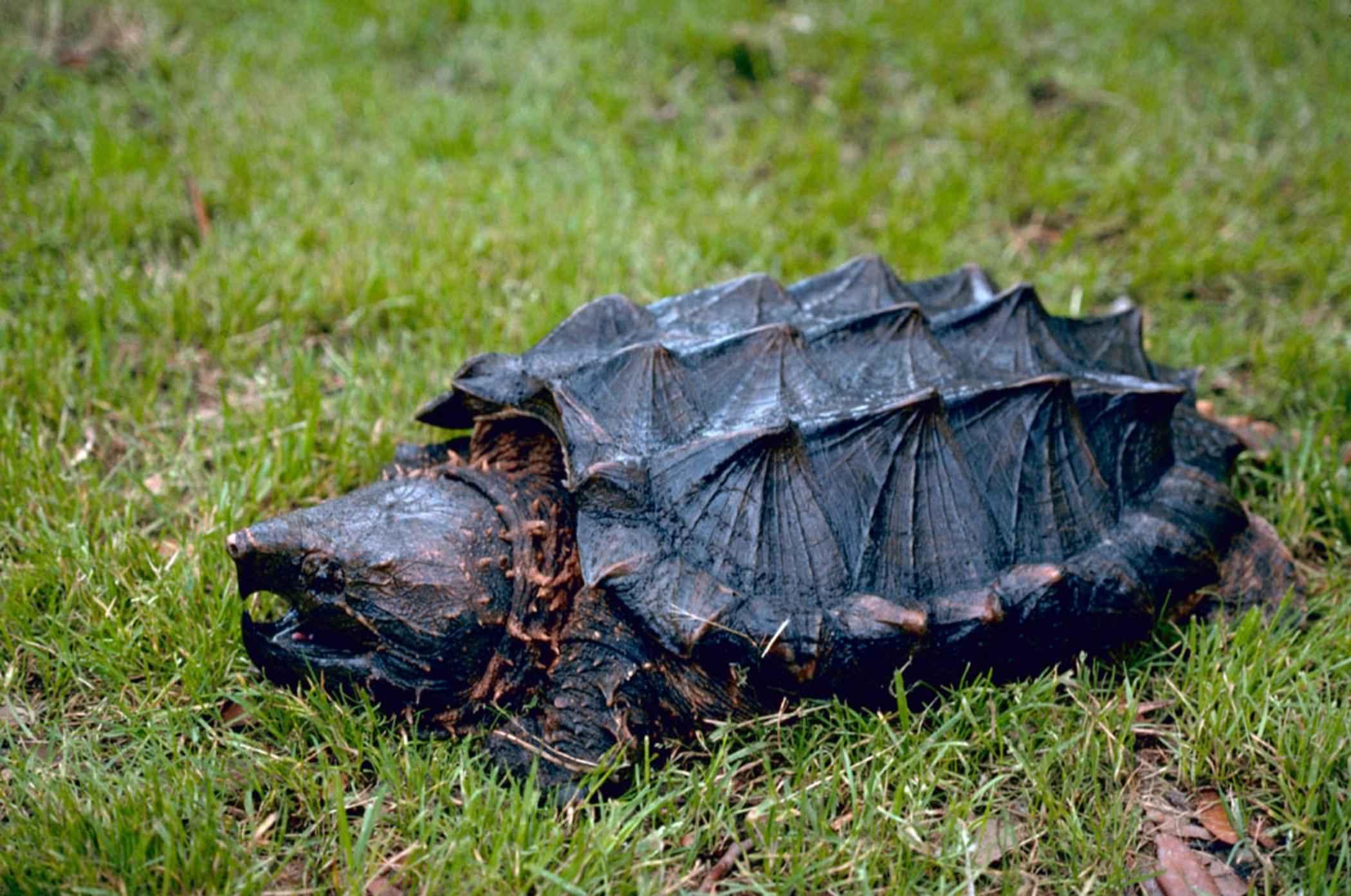 Топ-5 опасных черепах планеты