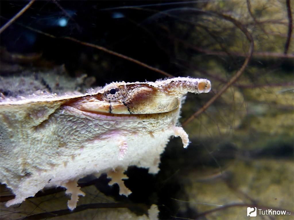 Черепаха матамата (мата-мата)