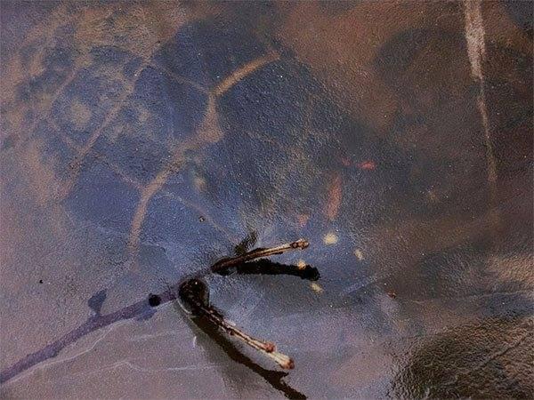 Как опеределить пол болотной черепахи