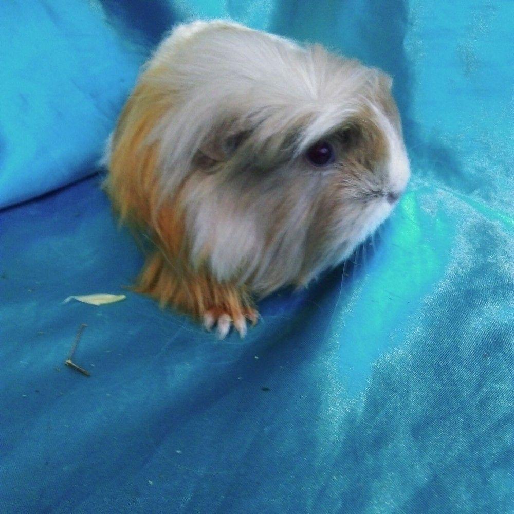 Всё, что нужно знать владельцу морской свинки породы коронет