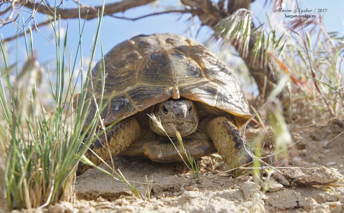 Черепахи – фото, описание, виды, ареал, рацион, враги