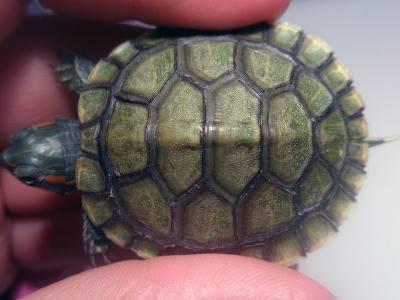 Г. о. черепанов изменчивость щитков панциря черепах: закономерности морфогенеза и природа аномалий*