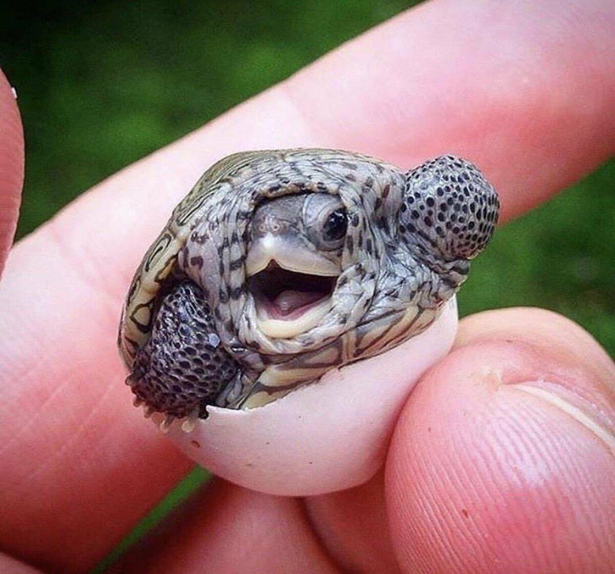 Самые маленькие сухопутные и морские черепахи в мире