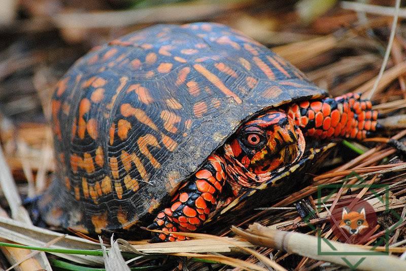 ядовитые черепахи