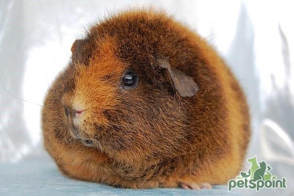 «Нежный великан»: морская свинка рекс