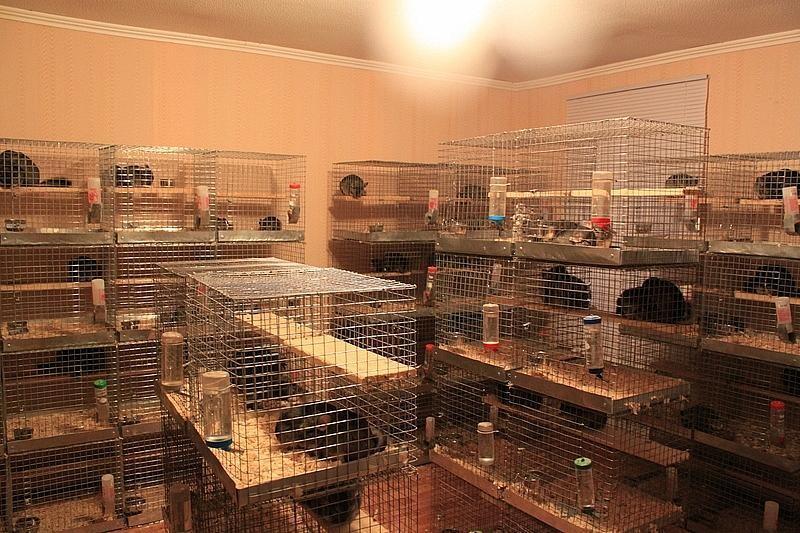 Шиншиллы: разведение в домашних условиях