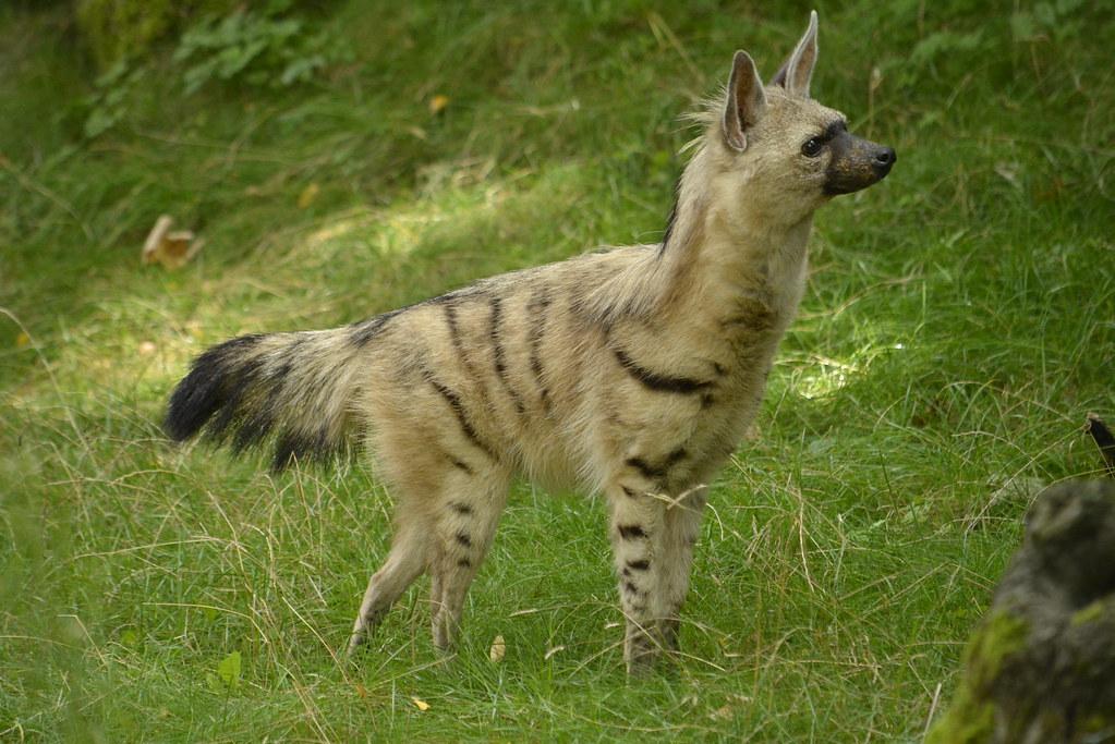 Земляной волк