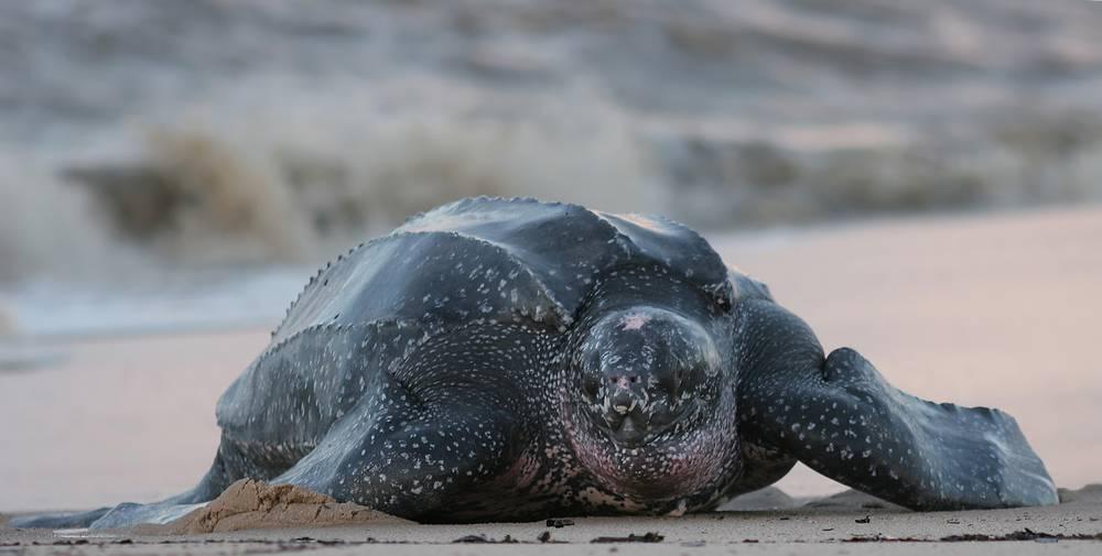 Кожистая черепаха лут — описание с фотографиями