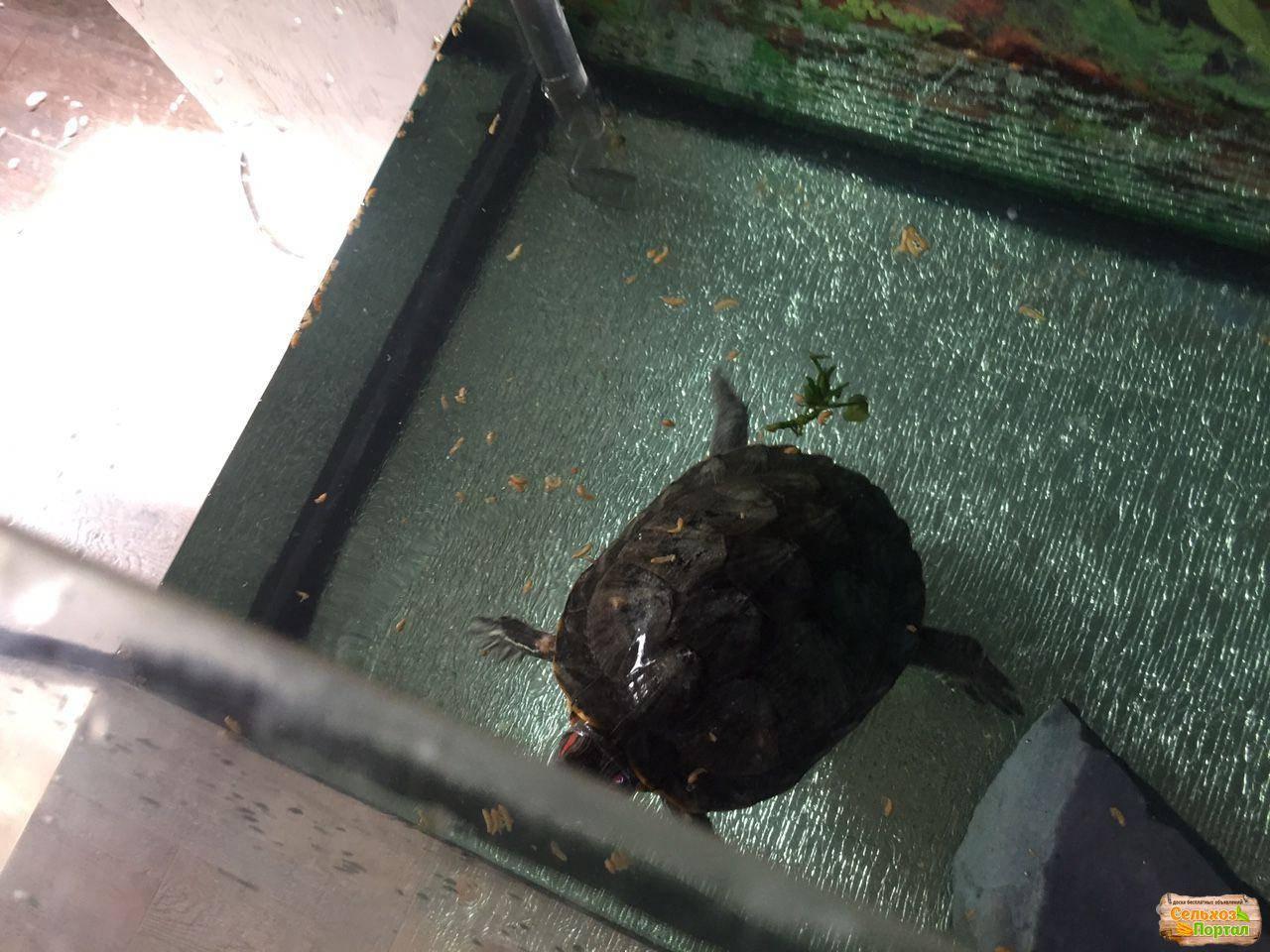 Характер красноухих черепах | мои красноухие черепахи - уход и содержание черепах.