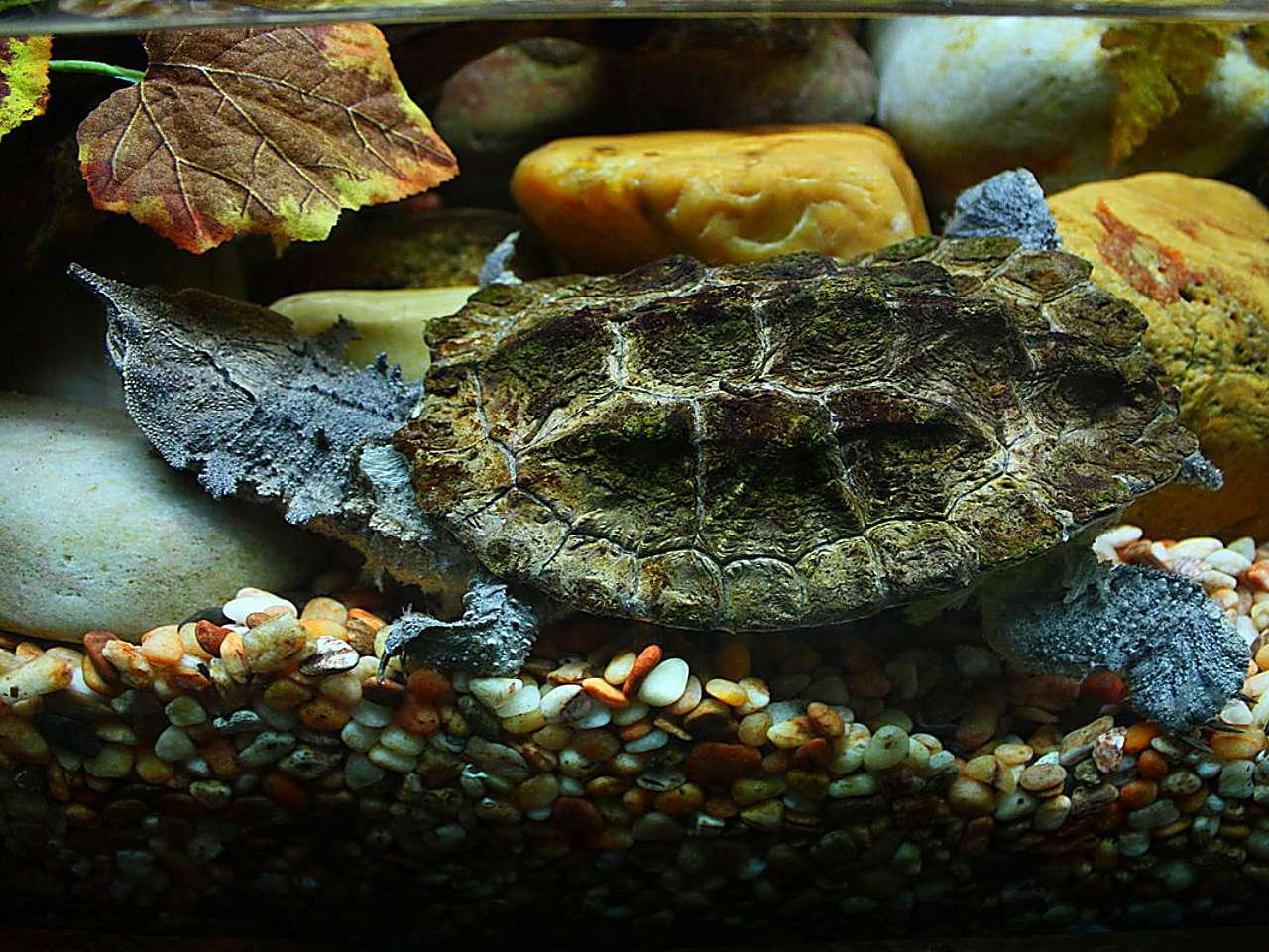 Матамата (черепаха) википедия