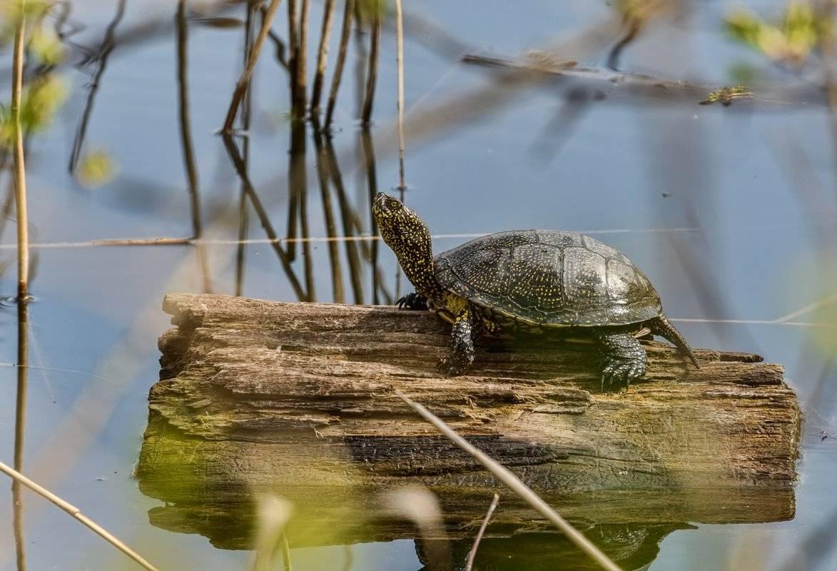 Болотная черепаха – как нужно правильно содержать такого питомца в домашних условиях?