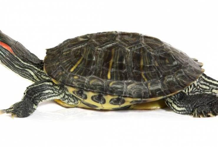 О чем нужно знать тем, кто хочет завести дома красноухую черепаху