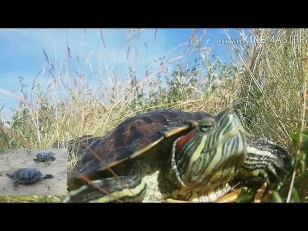 О содержании и уходе за сухопутной черепахой от а до я