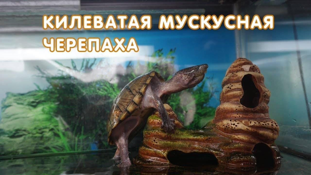 Виды черепах - черепахи.ру - все о черепахах и для черепах