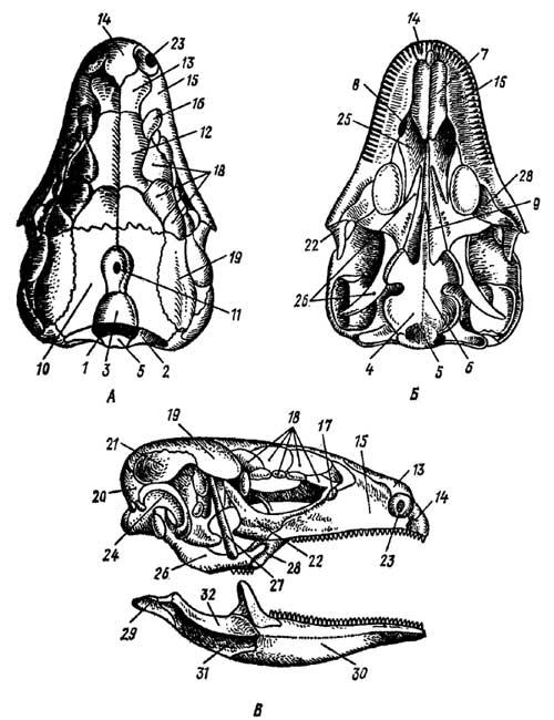 Отделы и составные элементы черепа. череп: строение костей головы