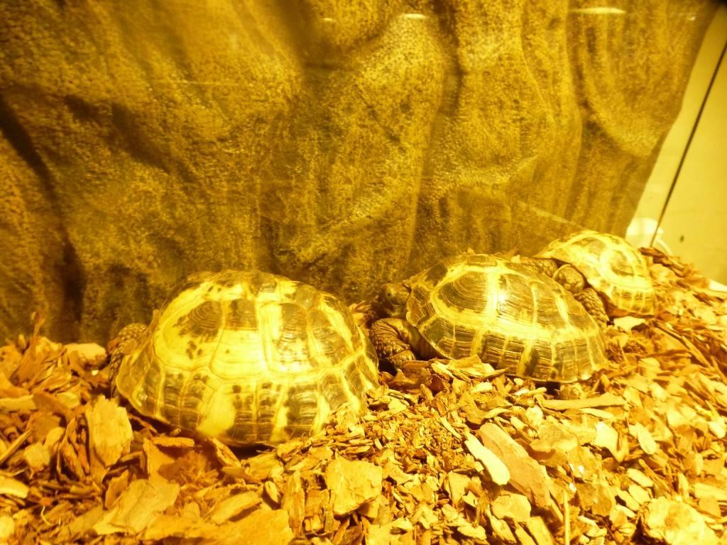 Среднеазиатская черепаха содержание и уход: фото-видео обзор