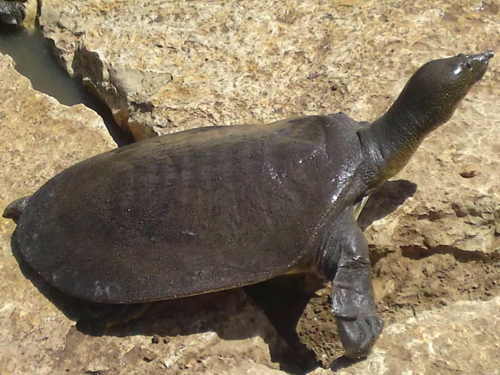 Китайский трионикс — дальневосточная черепаха: описание, особенности содержания в домашних условиях