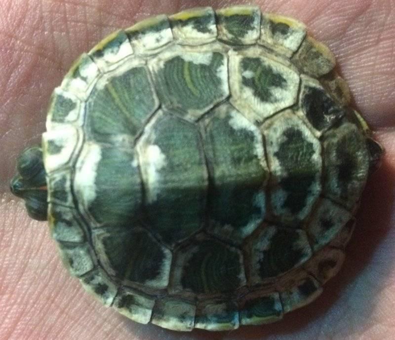 Треснул панцирь у черепахи что делать. у красноухой черепахи треснул панцирь, лечение травмы