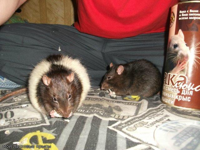 Как перевозить крысу?