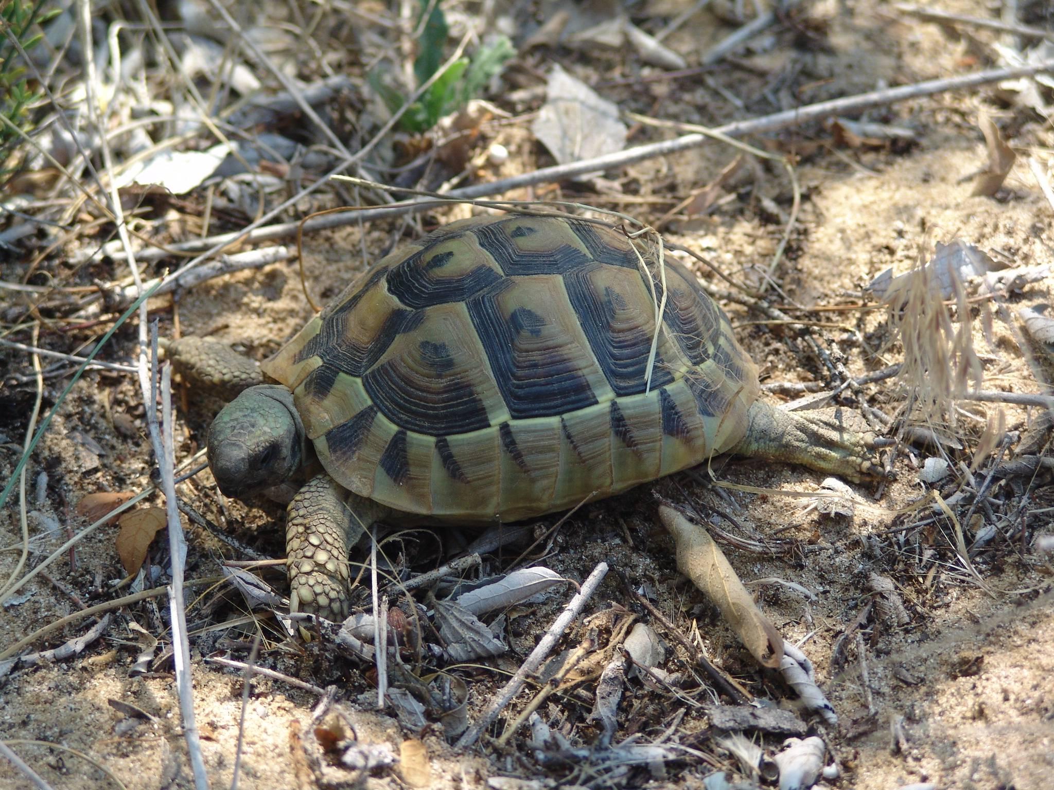 Testudo hermanni (балканская черепаха)