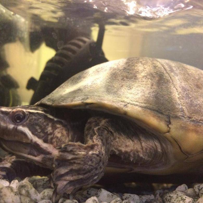 Мускусная черепашка: за и против её выбора в домашний аквариум