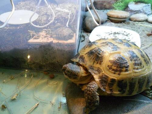 Среднеазиатская черепаха — содержание и уход