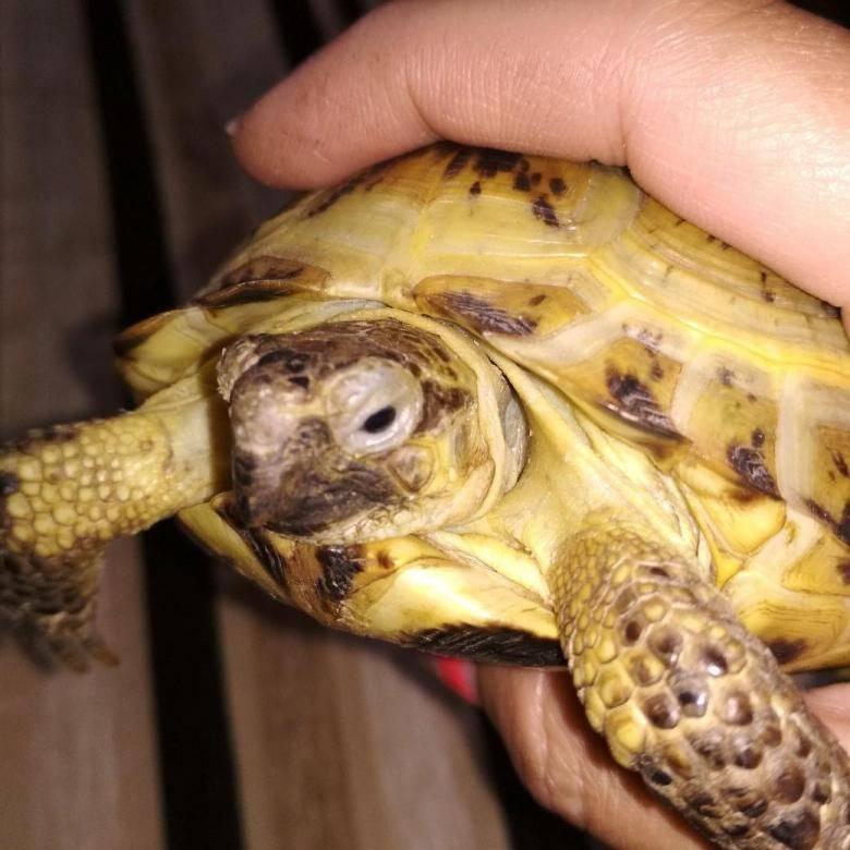 Почему сухопутная черепаха трет глаза. черепаха не открывает опухшие глаза: болезни красноухой черепахи