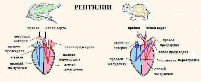 Кардиогенез :: прогрессивное усложнение сердца (сердце животных и человека, жеденов, 1954)