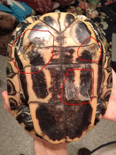 Рахит у красноухой черепахи