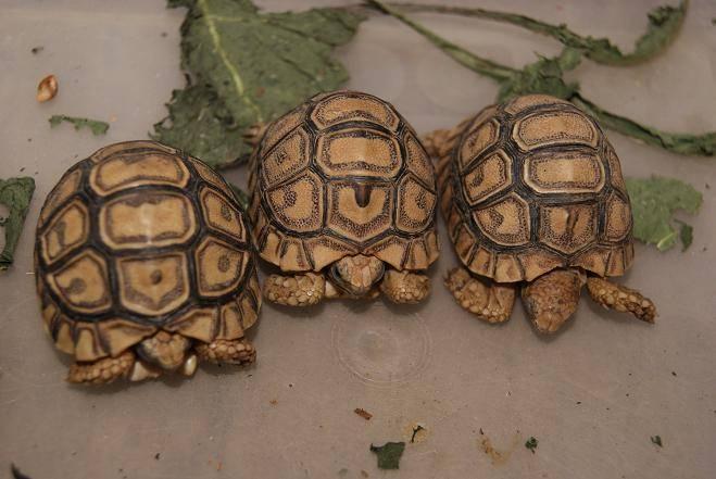 Леопардовая черепаха (geochelone pardalis)