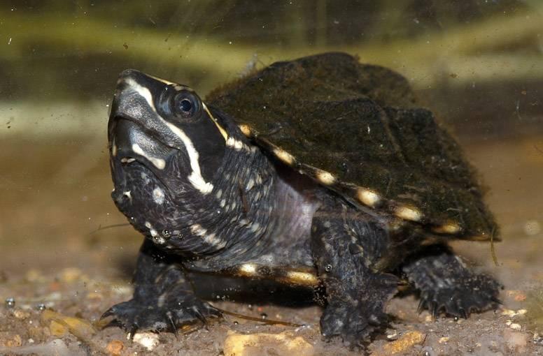 Мускусная черепаха. образ жизни и среда обитания мускусной черепахи | животный мир